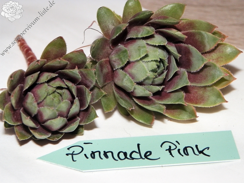 Pinnacle Pink